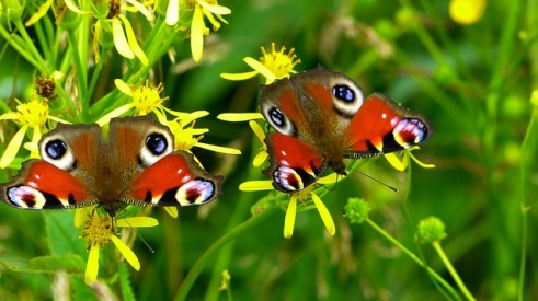 inachis-butterfly-image